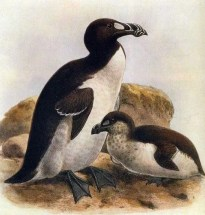 The Great Auk went extinct in the mid-19th century.