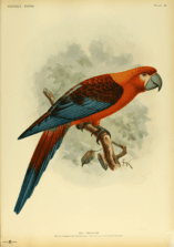 This beautiful bird is the Cuban Macaw. It lived in Cuba and was the last species of Caribbean macaw to go extinct, due to deforestation from human settlement.