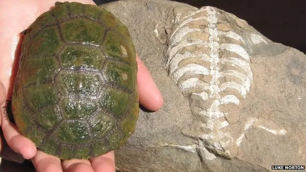 A living South African sideneck turtle next to its 260-million-year-old relative, Eunotosaurus africanus.