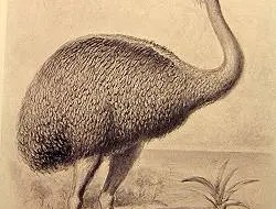 Restoration of the famous elephant bird. Photo: Wikimedia Commons