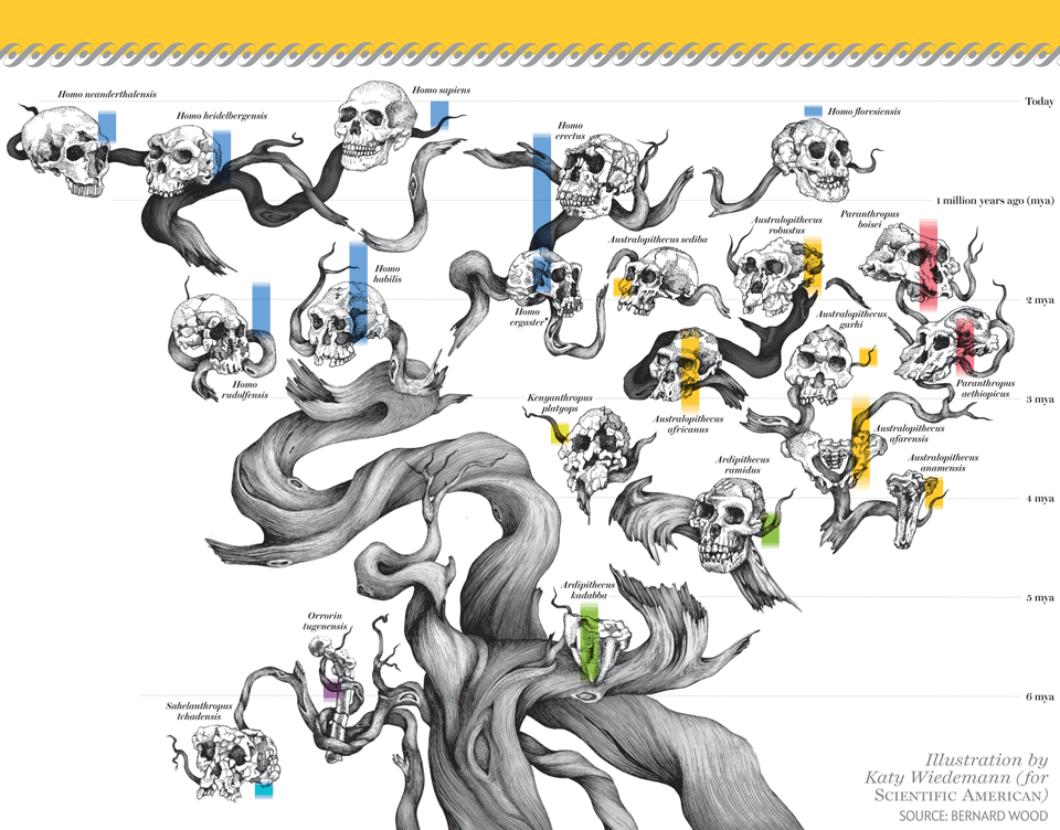 Homo sapiens family tree. Beautifully illustrated by Katy Wiedemann.