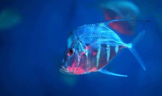 A lookdown fish in the open ocean. Image: Flickr