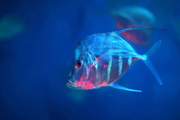 A lookdown fish in the open ocean. Image: Flickr