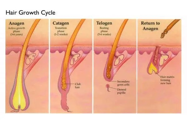Hair-Growth-Cycle-White