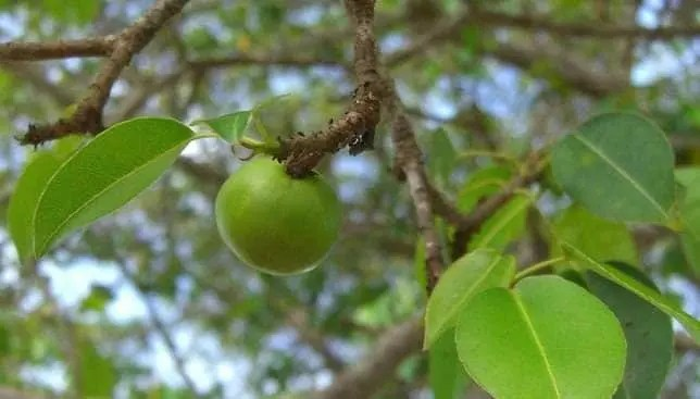 The manchineel's fruits look like green apples which is why it's earned the name of 'little apple of death'. Credit: Photo: ason Hollinger/flickr.