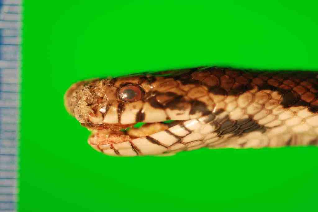 snake fungal disease