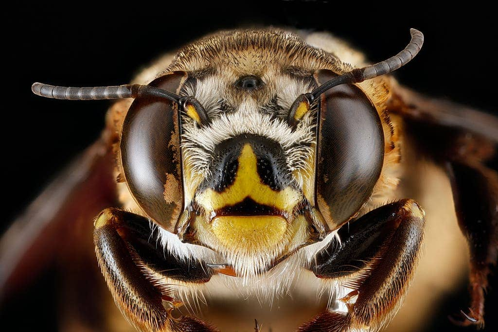 Closeup of a bee's amazing eyes. Credit: Flickr, USGS Bee Inventory.