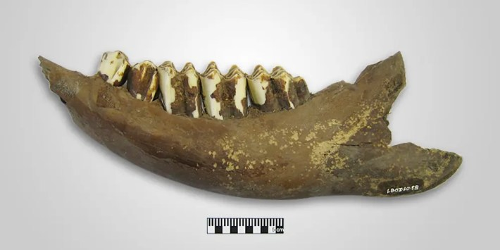 Lower bovine jaw.