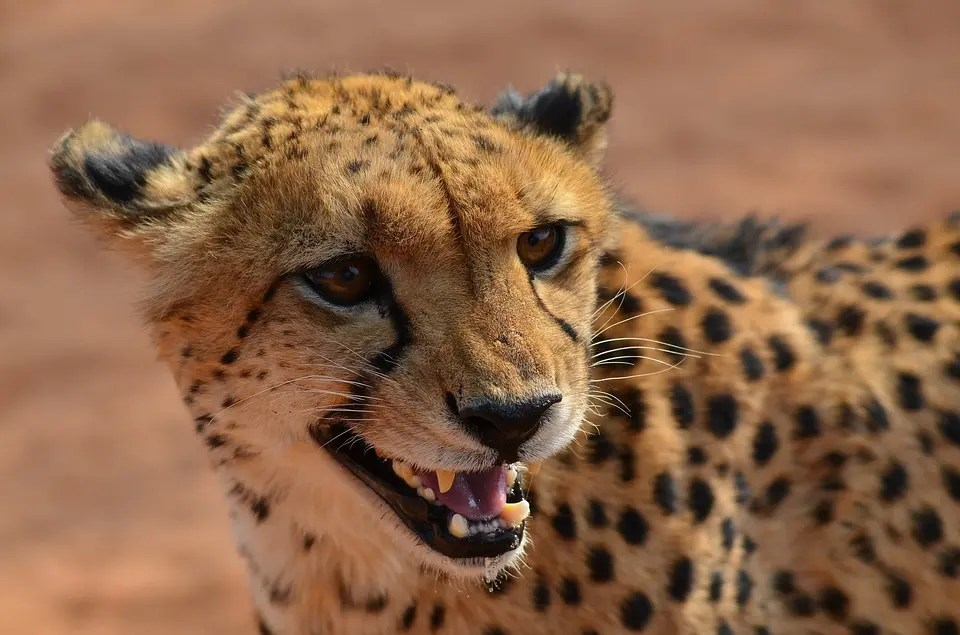 At a top speed of 120 km/h, the cheetah (Acinonyx jubatus) is the fastest land based animal in the world. Credit: Pixabay, UGVERTRIEB.