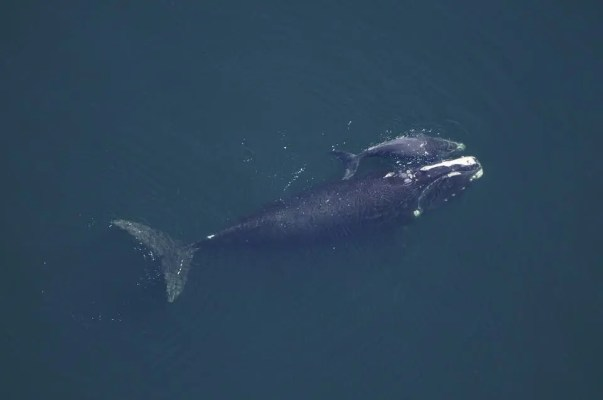 Whale and calf.