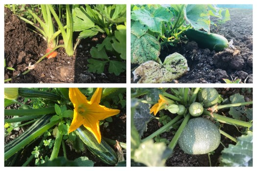 Squashes, cucumber and carrots growing