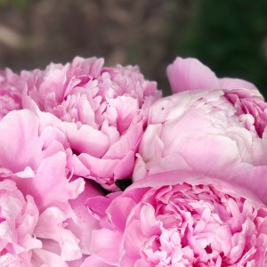 Tips for Growing Peonies in Your Garden