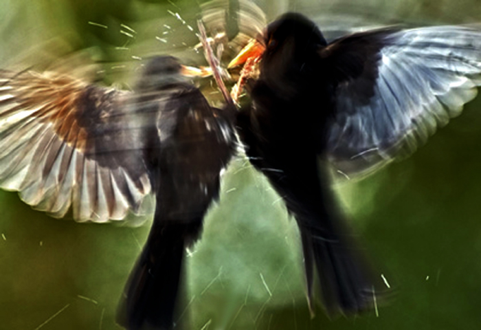 Birds sparring -- winner of the Wildlife Behavior category