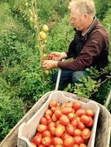 rene tomaten