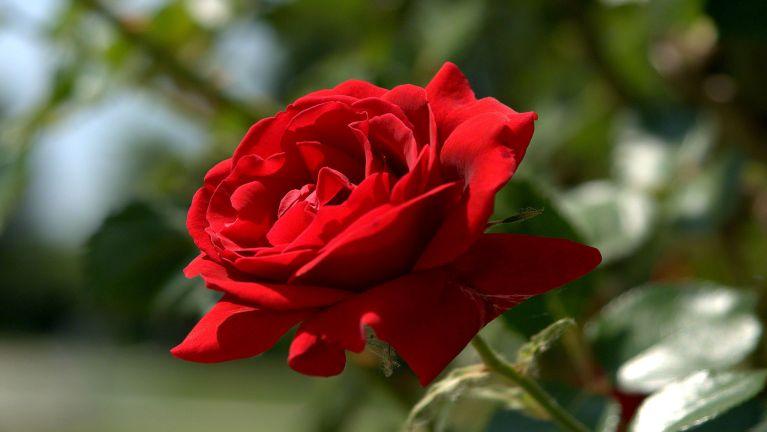 Lingpaak ciinna (Rose)