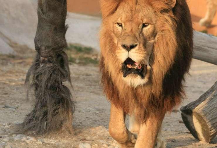 leone