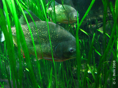 Piranhas in Warteposition