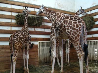 Giraffenbaby Akasha (ganz links)