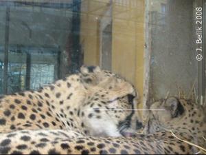 Geparden beim Kuscheln, 25. Dez 2008