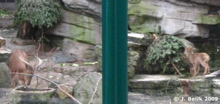 Nachwuchs bei den Mähnenspringern (rechts), 23. Januar 2009