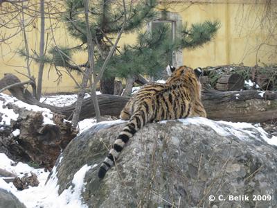 ... und hier das andere Tigerkind, 16. Januar 2009