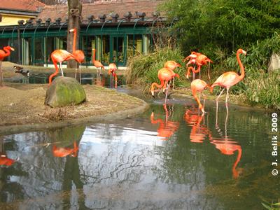 Flamingos, 7. Februar 2009