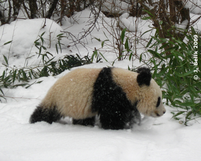 Fu Long versinkt schon fast im Schnee, 18. Februar 2009