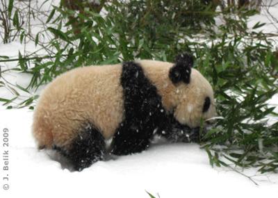 Fu Long beim Bambusmampfen im Schnee, 18. Februar 2009