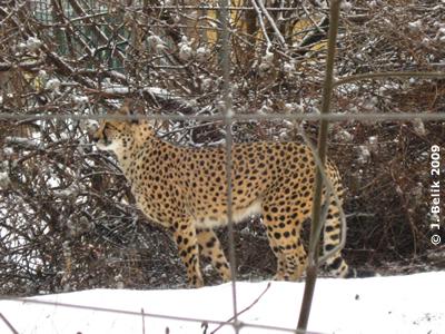 Ein Gepard im Schnee, 1. Februar 2009