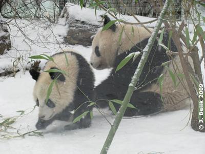 Fu Long und Yang Yang beim Herumtollen, 1. Februar 2009