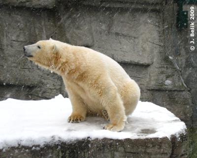 Arktos oder Nanuq? 18. Februar 2008