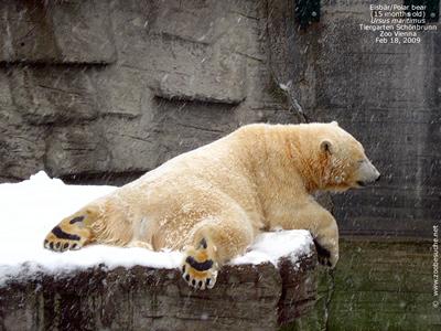 Arktos oder Nanuq, dieser Eisbärfrosch? 18. Februar 2009