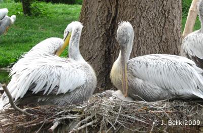 Pelikane mit Küken, 15. Mai 2009