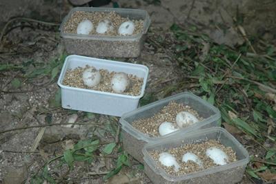 Die Eier wurden sorgfältig verpackt, 10. Juli 2009 (Foto: Dr. Harald Schwammer)