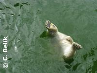 Eisbären beim Tauchen