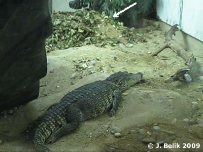 Der Bruthügel (Pfeil) wird von den Krokodilen bewacht.  1. Juli 2009