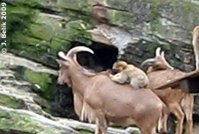 Berberaffen-Massage, 17. November 2009