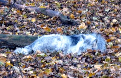 Timberwolf, 25. November 2009