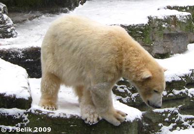 ... und Herumkasperln - da der Pool zugefroren war, konnte er leider nicht seinen üblichen Köpfler vorzeigen ...