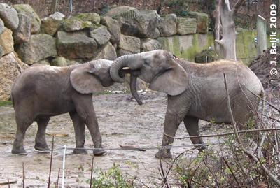 Kibo (li) und Mongu (re), 23. Dezember 2009