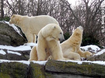 Arktos (hinten), Nanuq (vorne) und Mama Olinka, die grad einem Flugzeug beobachtet. 29. Jänner 2010