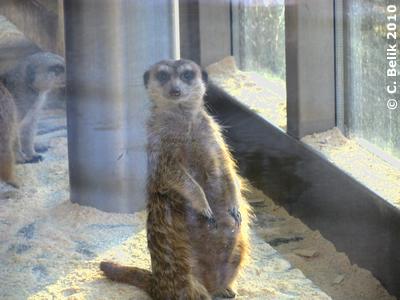 Was machst Du da draußen? Erdmännchen, 29. Jänner 2010