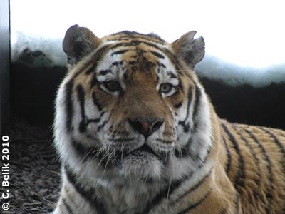 Tigerpapa Ivan, 29. Jänner 2010