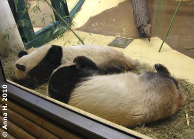 Yang Yang und Long Hui, die uufriedenen und glücklichen Wiener Pandas, 24. Jänner 2010