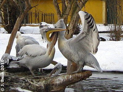 ... zum Fressen gern! Pelikane, 29. Jänner 2010