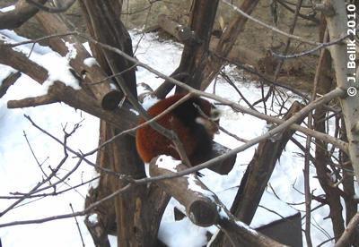 Roter Panda, 22. Jänner 2010