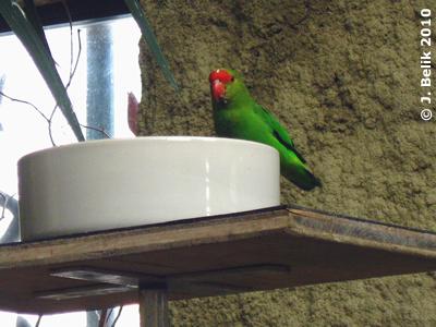 Tarantapapagei, 29. Jänner 2010