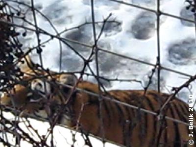 Neugieriges Tigermädl, 12. Jänner 2010