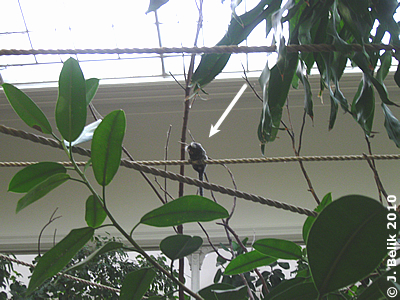 Ein Weißbüscheläffchen hoch oben auf dem Seil, 22. Jänner 2010