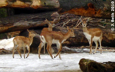 Hirschziegen-Antilopen mit Jungtier (li), 5 Monate alt, 23. Februar 2010